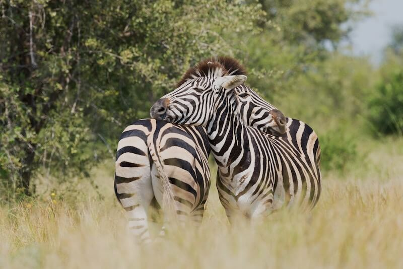 Two zebras scratching one another