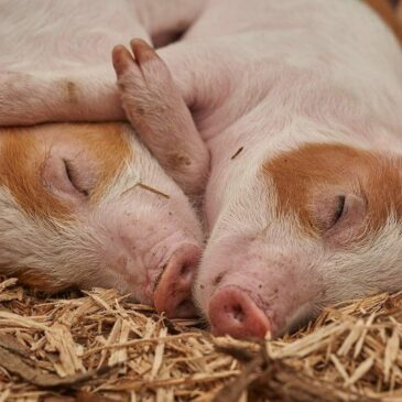 Two piglets sleeping and hugging each other