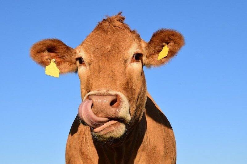 Cow standing against blue sky licking his lips.