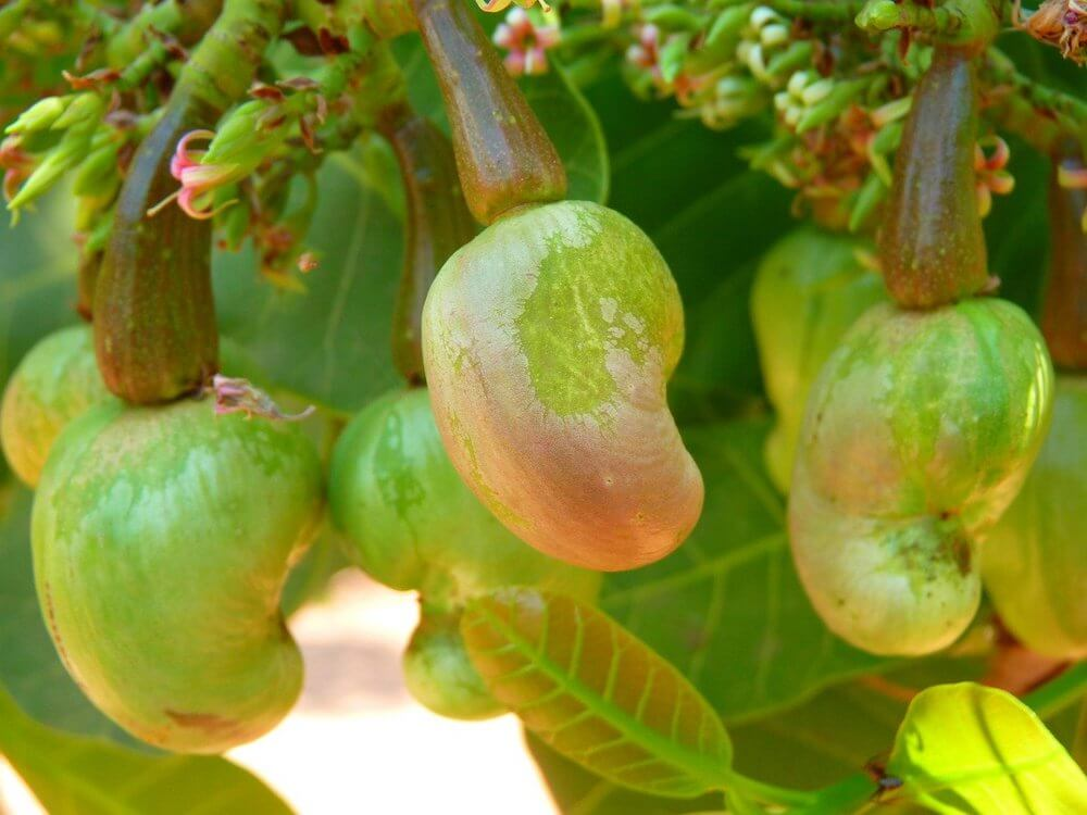 Cashews growing on the tree