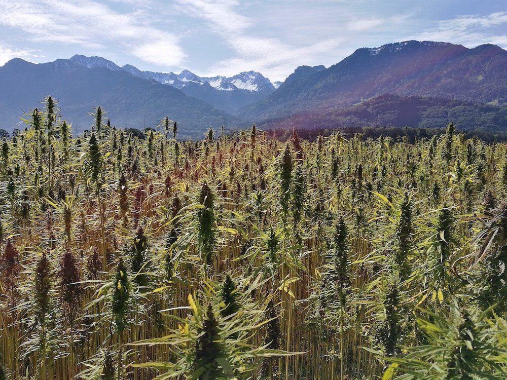 Field of hemp plants with mountains in the background