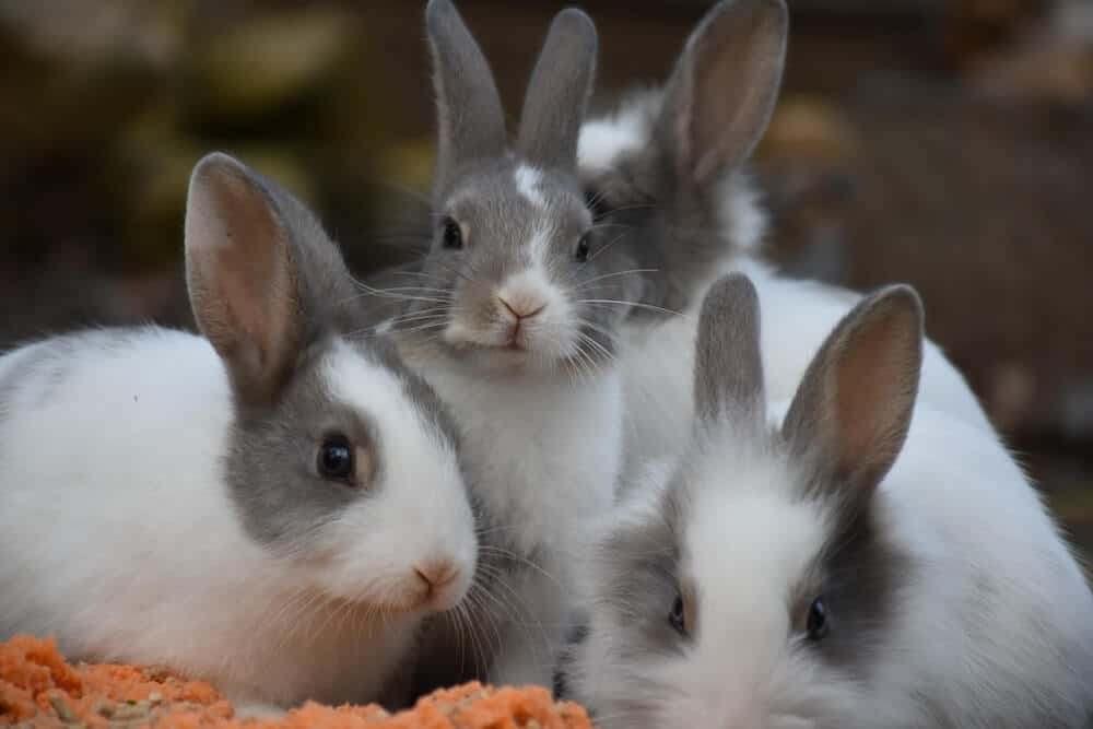 Three fluffy rabbits