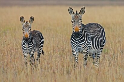 Zebra mother with young zebra