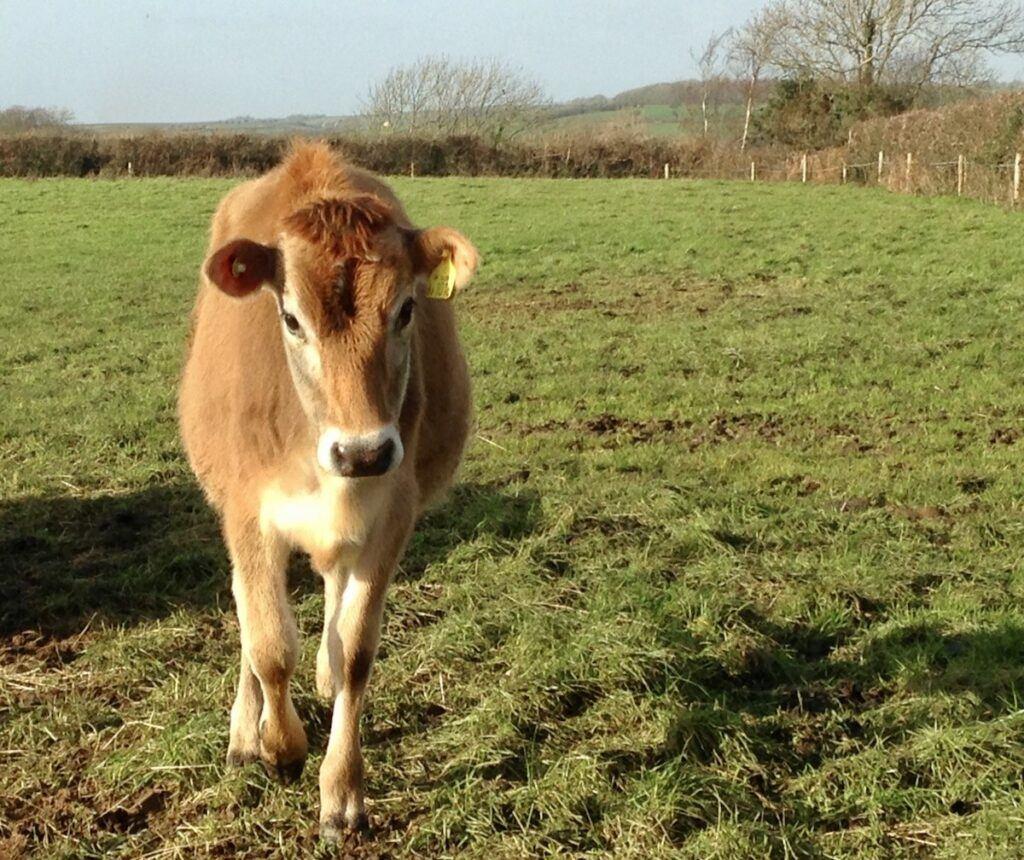Picture of a calf in a field